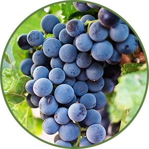 Purple grapes hanging from vine - anti-aging benefits of grapes